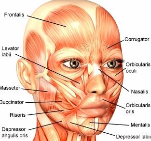 Curso práctico sobre anatomía facial